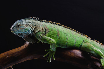 Perfect portrait of a green iguana on a branch in the studio