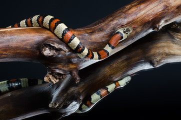 beautiful portraits of the royal snake in the mirror