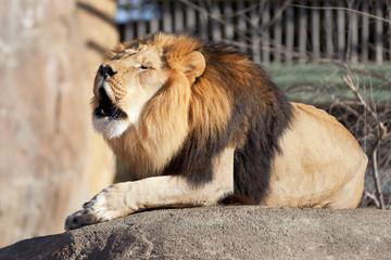 Lion roaring on a rock