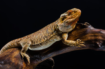australion dragon on the branch