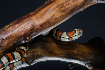 king snake on a branch in the studio