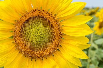 A large sunflower