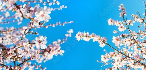 Wall mural Glückwunsch, Alles Liebe: Duftende, zarte Mandelblüten  vor blauem Frühlingshimmel :)