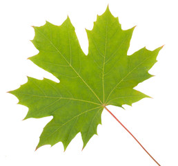 Green Maple Leaf, seasonal concept isolated on white background,