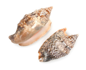 Pair of sea shells isolated on white. Top wiev, close up.