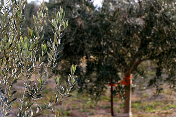 Olive tree in a field. Selective focus.