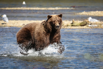Alaskan brown bear (grizzly bear) fishing for Sockeye salmon, Moraine Creek, Katmai National Park, Alaska