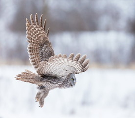 The great grey owl or great gray is a very large bird, documented as the world's largest species of owl by length. Here it is seen searching for