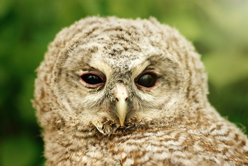 cute sweet owl with grey and brown feathers with funny look on n