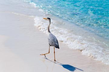 Heron bird at sand beach coast. Maldives islands