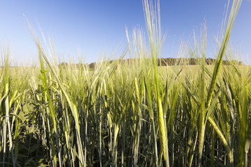 immature green grass