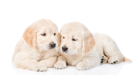 Golden retriever puppies lying together. isolated on white