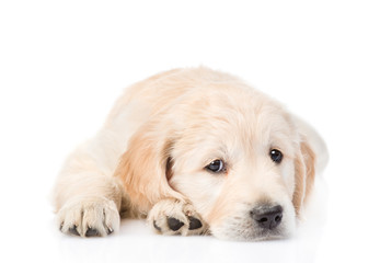 Sad Golden Retriever puppy lying in front view. isolated on white