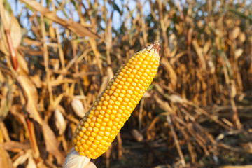 Ripe corn in the field