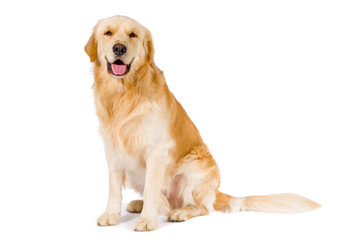 Golden Retriever adult sitting smiling at camera isolated