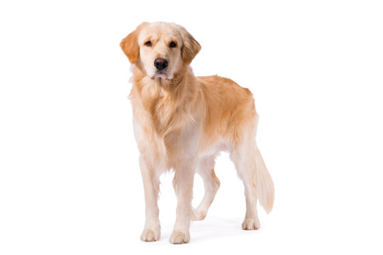 Golden Retriever adult standing serious  isolated on white