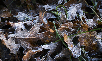 Frosted oak leaves in winter close up