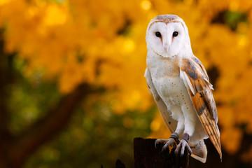 Barn Owl Fototapete