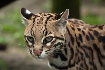 Fototapete - Ocelot (Leopardus pardalis)