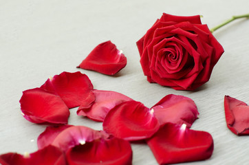 Red rose a symbol of love and valentine's day with red petals of