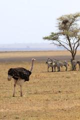 Взрослый самец африканского страуса прогуливается по открытой саванне на фоне зебр
