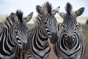 Three young zebra