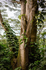 Tree Trunk in Rainforest