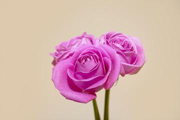 아름다운 분홍 장미