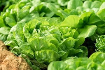 Organic vegetables garden