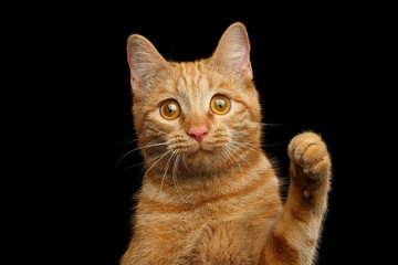 Portrait of Ginger cat face with paw looking with amazement on Isolated Black background, front view