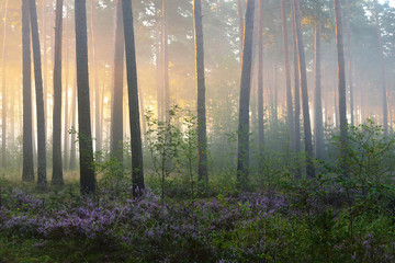 Foggy sunrise in the beautiful deciduous forest in Latvia.