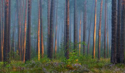 Mglisty wschód słońca w pięknym lesie liściastym na Łotwie. - 136911379