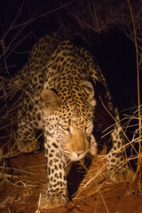 Leopard by Torchlight, Madikwe Game Reserve