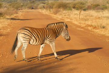 Zebra Crossing, Madikwe Game Reserve