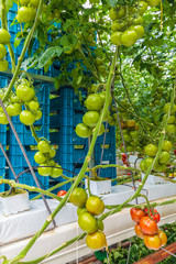 Industrial growth of tomatoes in a greenhouse