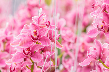 Pink orchid in a Dutch greenhouse