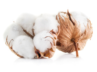 Fluffy cotton ball of cotton plant on a white background.