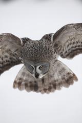 Female Great grey owl (Strix nebulosa) landing, Oulu, Finland, February 2009