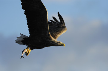 White tailed sea eagle (Haliaeetus albicilla) in flight carrying fish, Flatanger, Nord Trøndelag, Norway, August 2008