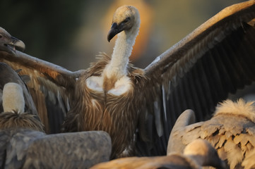 Griffon vulture (Gyps fulvus) with wings outstretched, Montejo de la Vega, Segovia, Castilla y Leon, Spain, March 2009