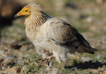 Egyptian vulture (Neophron percnopterus) walking, Montejo de la Vega, Segovía, Castilla and Leon, Spain, March 2009