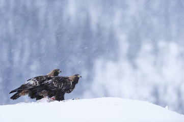 Two Golden eagles perching on snow, Norway