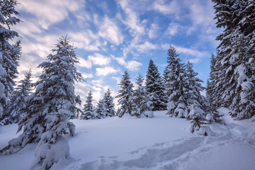 Clouds are floating in the blue sky above snow-covered spruce fo