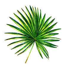 Hand painted watercolor palmetto tree. Botanical illustration of fan shaped palm leaf, isolated on white background.