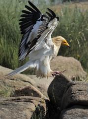 Egyptian vulture (Neophron percnopterus) landing, Faia Brava Reserve, Coa valley, Portugal, May