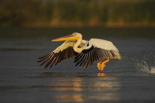 Eastern white pelican (Pelecanus onocrotalus) taking off from water, Danube delta rewilding area, Romania May sequence 1/10