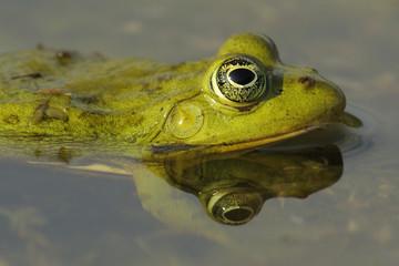 Pool Frog (Rana lessonae) head profile portrait in water, Danube delta rewilding area, Romania