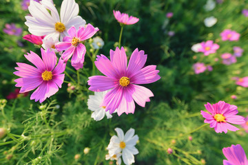 Pink ,red and white cosmos flowers garden