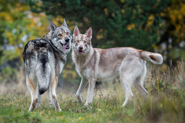Couple of wolfdogs in nature