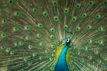 close up of peacock showing drametic trail